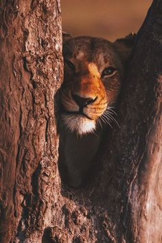 """Lion:  """"Through The Fork of A Tree ~ Just Looking At Me.""""  (Written By: Lynn Chateau © )"""