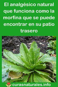 El analgésico natural que funciona como la morfina que se puede encontrar en su patio trasero #morfina #analgésico #salud #remedios #bienestar #curasnaturales