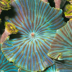 Green Striped Mushroom Coral are originally from the waters of the South Western Pacific around Indonesia.