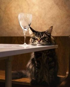 Cat Care Top Tips And Advice. All these things you get as a cat owner. Cool Cats, I Love Cats, Crazy Cats, Cute Kittens, Cats And Kittens, Cute Baby Animals, Funny Animals, Cat Wine, Photo Chat
