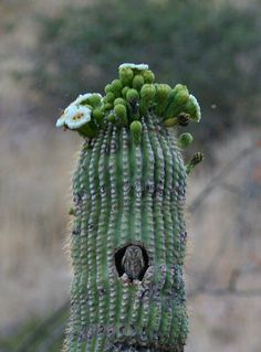 An Elf Owl makes its home in a Saguaro.