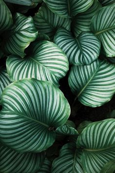 Botanical photo art of a Calathea leaf. The poster shifts in different green tones and goes well with one of our other Nature motifs. Air Cleaning Plants, Air Plants, Indoor Plants, Hanging Plants, Cactus Plants, Garden Plants, Leave In, Tropical Leaves, Tropical Plants