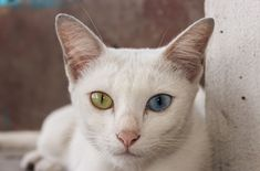 Have you ever heard of the Khao Manee? Learn more about this royal cat here: http://www.petguide.com/breeds/cat/khao-manee/