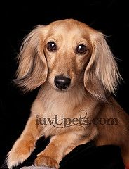.Can we say awwww.... to this pretty long-haired Dachshund.
