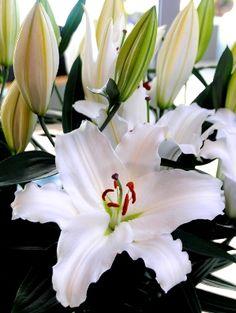 Voorjaarsgeur en –kleur op kerstkeuring KAVB - BloembollenVisie – Vakblad voor de bloembollen- en vaste plantensector