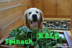 Spinach and Kale Kale And Spinach, Can Dogs Eat, Dog Eating, Dog Treat Recipes, Dog Treats, Animal Pictures, Labrador Retriever, Pets, Labrador Retrievers
