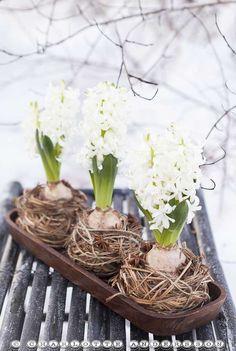 hyacinth nests repinned by www.landfrauenver... #landfrauen #landfrauen wü-ho #württemberg #hohenzollern