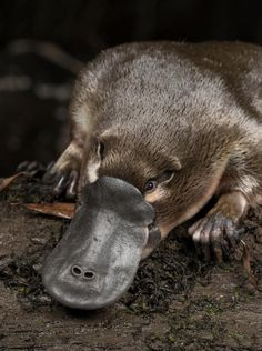A platypus (Ornithorhynchus anatinus) is released onto a log in Little Yarra River, Yarra Junction, Victoria, Australia Baby Platypus, Duck Billed Platypus, Reptiles, Mammals, Animals And Pets, Funny Animals, Wildlife Day, Australia Animals, Animal 2