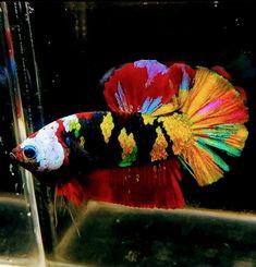 Beta Fish, Water Life, Aquarium Fish, Goldfish, Betta, Animal Photography, Fresh Water, Pictures, Painting