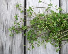 Wild Food Girl blog post - Chickweed - great site for other foraging info.