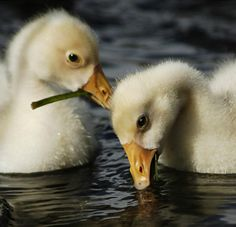 Cute Little Animals, Ducks