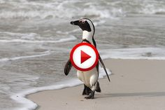 Penguin Highway In Antarctica Video #animals, #birds, #funny, #videos, https://facebook.com/apps/application.php?id=106186096099420