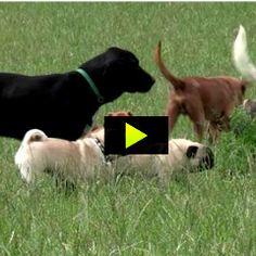 Interpréter le langage de la queue chez le chien (démonstrations d'experts dans cette vidéo...)   PsychoMédia