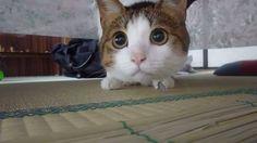 まんまるした目で綿ぼうしを追う猫さんがかわいすぎる♡