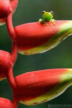 Palmar treefrog (Hypsiboas pellucens). Sitting on a Haleconia flower