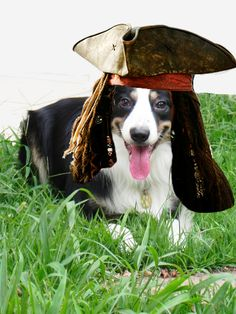 Border Collie pirata