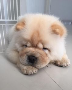 Chow Puppies For Sale, Baby Puppies, Baby Dogs, Cute Puppies, Cute Dogs, Dogs And Puppies, Fluffy Dogs, Fluffy Animals, Baby Animals
