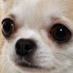 Chihuahua, perfect face/ head