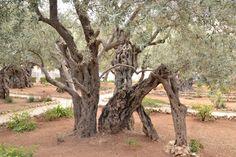 Orto dei Getsemani