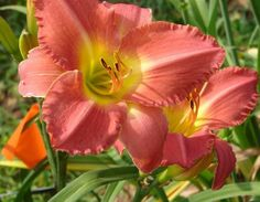 https://www.etsy.com/shop/TheMittenLoft?ref=si_shop Daylilies and perennial plants grown in NE Ohio, by Tammy Helwig. Nursery is state licensed to ship plants, more plants will be added as we move forward to spring. Shipping general starts late March. Live Plant Daylily Ann Kelly   Garden C by TheMittenLoft on Etsy, $8.50