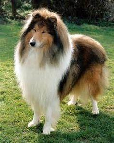 Sable Collie Dark sable collie dog
