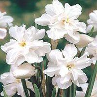 Narcissus poeticus 'Plenus'