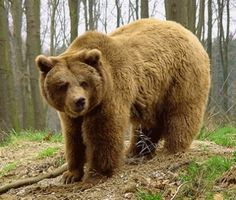 Oso pardo, casi totalmente extinguido en España... ◘◘◘ Brown Bear, almost completely extinct in Spain ...