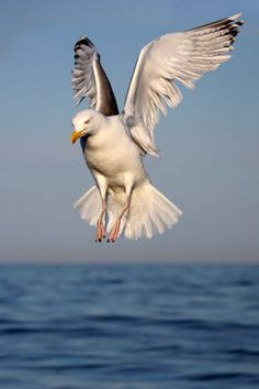 A seagull checking us out when we where out driving around in my sisters boat. Frozen in the sky Nicolas Vanier, Seagull Tattoo, Animals And Pets, Cute Animals, Seagulls Flying, Photo Animaliere, Shorebirds, Tier Fotos, Sea Birds