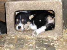 Need a corgi puppy picture fix. Go to this website. :-)