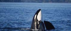 San Juan Excursions - San Juan Islands Whale Watching - Whale Watching Washington - Whale Watching Seattle - Seattle Washington Whale Watching Tours
