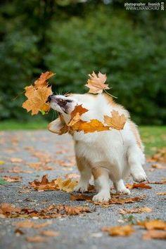 Animals   Small Companions: Corgi with falling leaves.