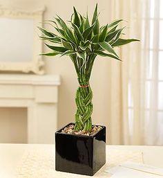 Indoor Bamboo Plants are Awesome, learn how to care for the Lucky Bamboo Plant, growing bamboo indoors and easy care for indoor bamboo. See a Large verity of bamboo Plants For Sale Indoor Bamboo Plant, Lucky Bamboo Plants, Indoor Plants, Bamboo House Plant, 800 Flowers, Types Of Flowers, Bamboo Stalks, Plant Delivery, Buy Plants Online