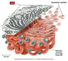 Biology Pictures: Cell Biology