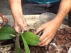 Comment entretenir une orchidée? Comment l'arroser? Où l'installer? Comment favoriser l'apparition de nouvelle fleurs? Que faire avec toutes …