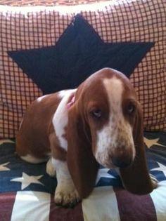 basset hound puppy.