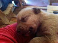 13-day old puppy getting socialized! At Husky Homestead! #Denali #Alaska
