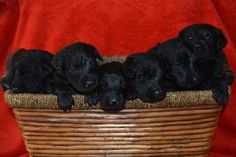 LABRADOODLE CKC PUPPIES!  3 Labradoodle ckc puppies!  3 beautiful chocolate $700 & 6 elegant black $500. Raised in our home and ready for your home feb 28. 770-294-4172 burgess93@aol.