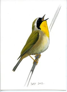 Image Detail for - ... Common Yellowthroat, an original gouache painting by David Sibley