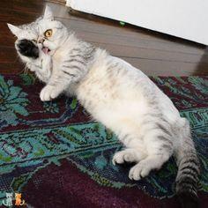 #exoticshorthair #cat #cute #flatface #kitten #meow #pet #mreggs #catlover #exoticsofinstagram #smushface #weeklyfluff