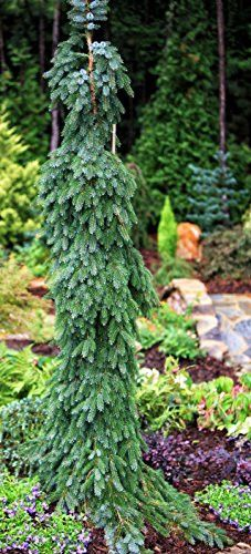 Bruns Pendula Weeping Serbian Spruce 2 - Year Live Plant