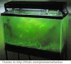 Did you know old, dirty, aquarium water is an excellent fertilizer for plants?