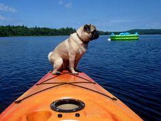 Kayaking pug. I need to teach Bruno to do this!