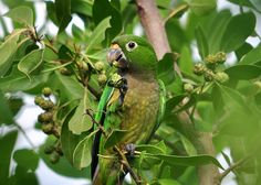 Olive-throated (Aztec) Parakeet by Ed Schneider, via Flickr