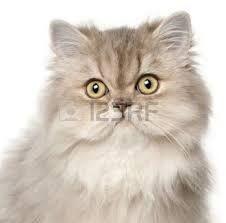 Risultati immagini per gatto persiano bianco