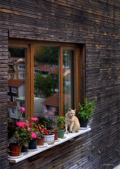 Brown wall and window frame really sets off the cat and potplants. Not to mention the reflection - lovely. Pretty Cats, Beautiful Cats, Cute Cats, Animal Gato, Amor Animal, Crazy Cat Lady, Crazy Cats, Animals And Pets, Cute Animals