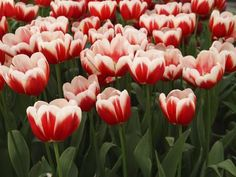 White Rimmed Red Tulips Photographic Print by Anna Miller at Art.com