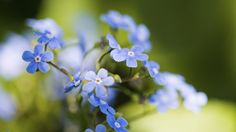 Blaue Blümchen aussäen und pflegen - Zwar ist das Vergissmeinnicht keine Mimose, dennoch müssen beim Aussäen und Pflegen ein paar Tipps beachtet werden, damit sich die Pflanze wohl fühlt. Insbesondere vor Pilzbefall braucht sie Schutz.
