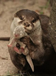 カワウソ Otter showing you her baby.
