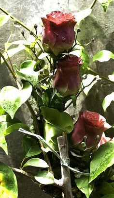 How to Grow Roses (with Pictures) - wikiHow