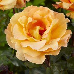 Rose+Whisky+Mac+-+Hybrid+Tea+Rose